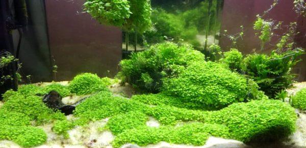 akvarijska rastlina zelena