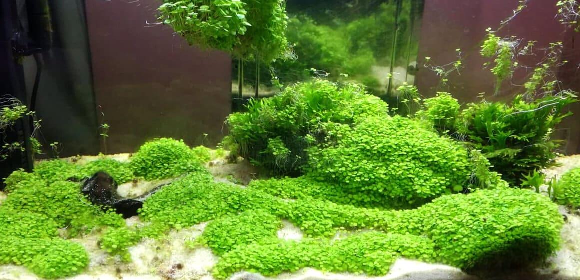 Semena za akvarijske rastline - Mali in veliki listi 4