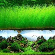 zelena akvarijska rastline