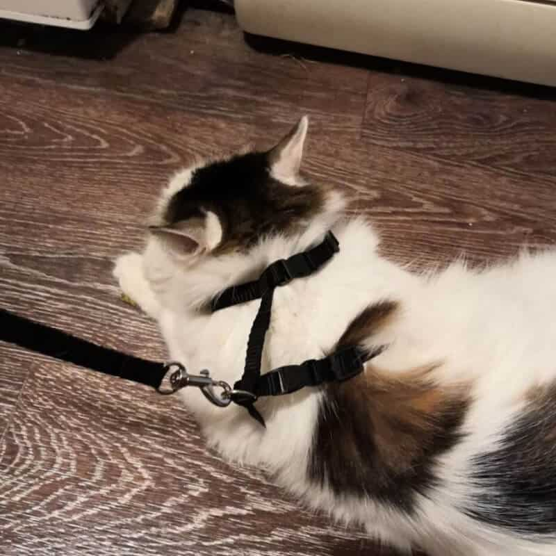 mačka z povodcem